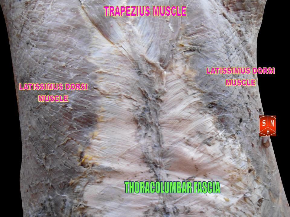 Thoracolumbar-Fascia
